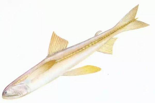 海鲜食材之只有一条软骨的水潺