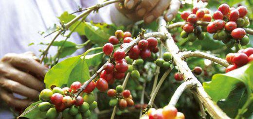 气候异常 今年越南咖啡预期会大幅减少