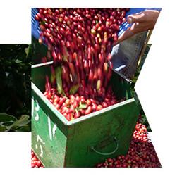咖啡生豆 哥斯达黎加 康奥斯卡处理厂 卡图拉