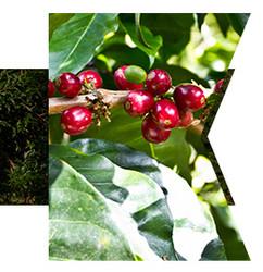 咖啡生豆 巴拿马 莱瑞达庄园 卡图艾 日晒