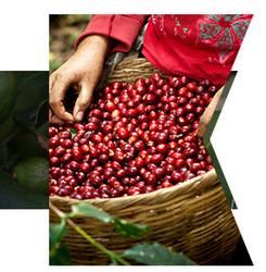 咖啡生豆 萨尔瓦多 圣莱蒂西亚庄园 帕卡马拉 蜜处理